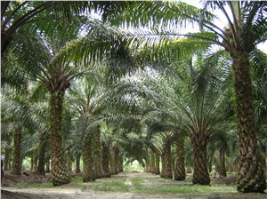 Malaysia, Indonesia to Form Palm Oil Producer Body